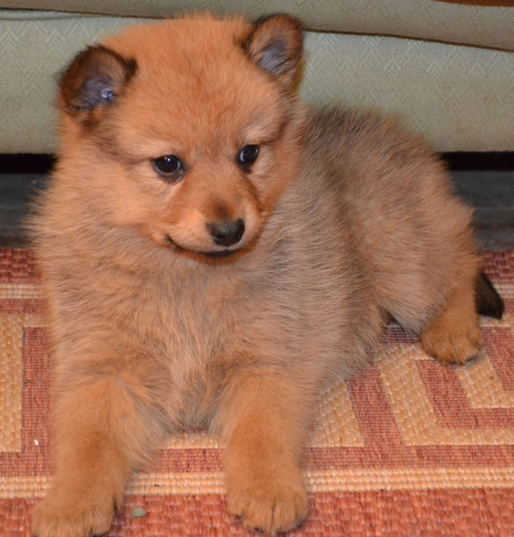 Finnish Spitz - Pictures, posters, news and videos on your ...