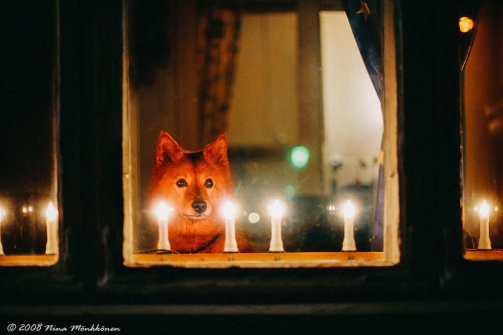The Finnish Spitz Society is very grateful to Nina Mönkkönen for allowing us to display her lovely photograph on our website.